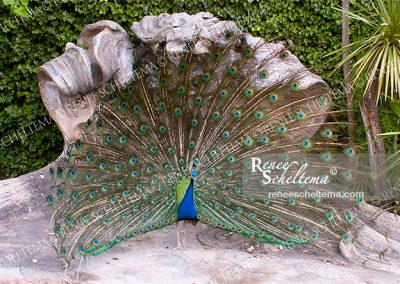 renee_scheltema_travel_peacock
