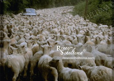 renee_scheltema_travel_sheep_car