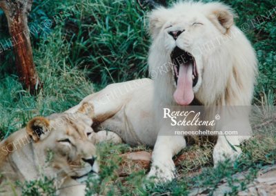 renee_scheltema_travel_white_lion